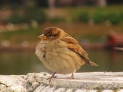 animal, sparrow, nature, fauna, emberizidae, beak, brambling, bird,