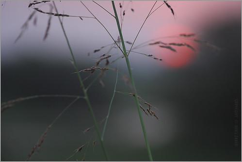 morning sunset sky plants sun india plant nature grass skyscape photography photo blog weeds weed poetry poem photographer photos dusk stock images poetic photographs photograph wilderness zaveri gujarat stockimages gujrat nevil navsari dawnanddusk tavdi nevilzaveri bhinar
