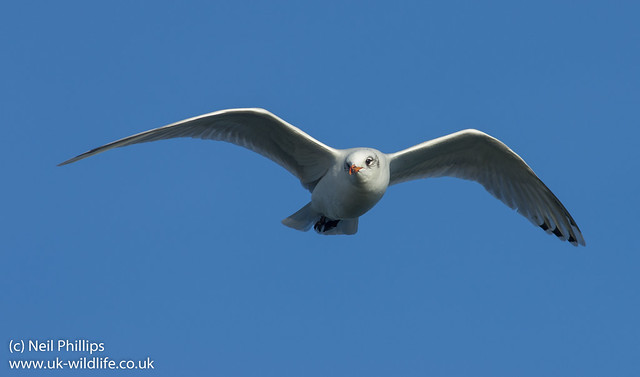 mediterranean gull in flight-8