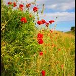 Wild Poppies, Holy Island