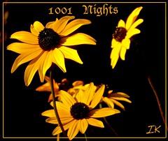 Yellow Cone Flowers 1001 Nights