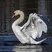 Höckerschwan / Swan by urban wildlife