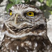 Burrowing Owl by jphillipobrien2006