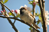 Sparrow in the blossom by Stacey Melia