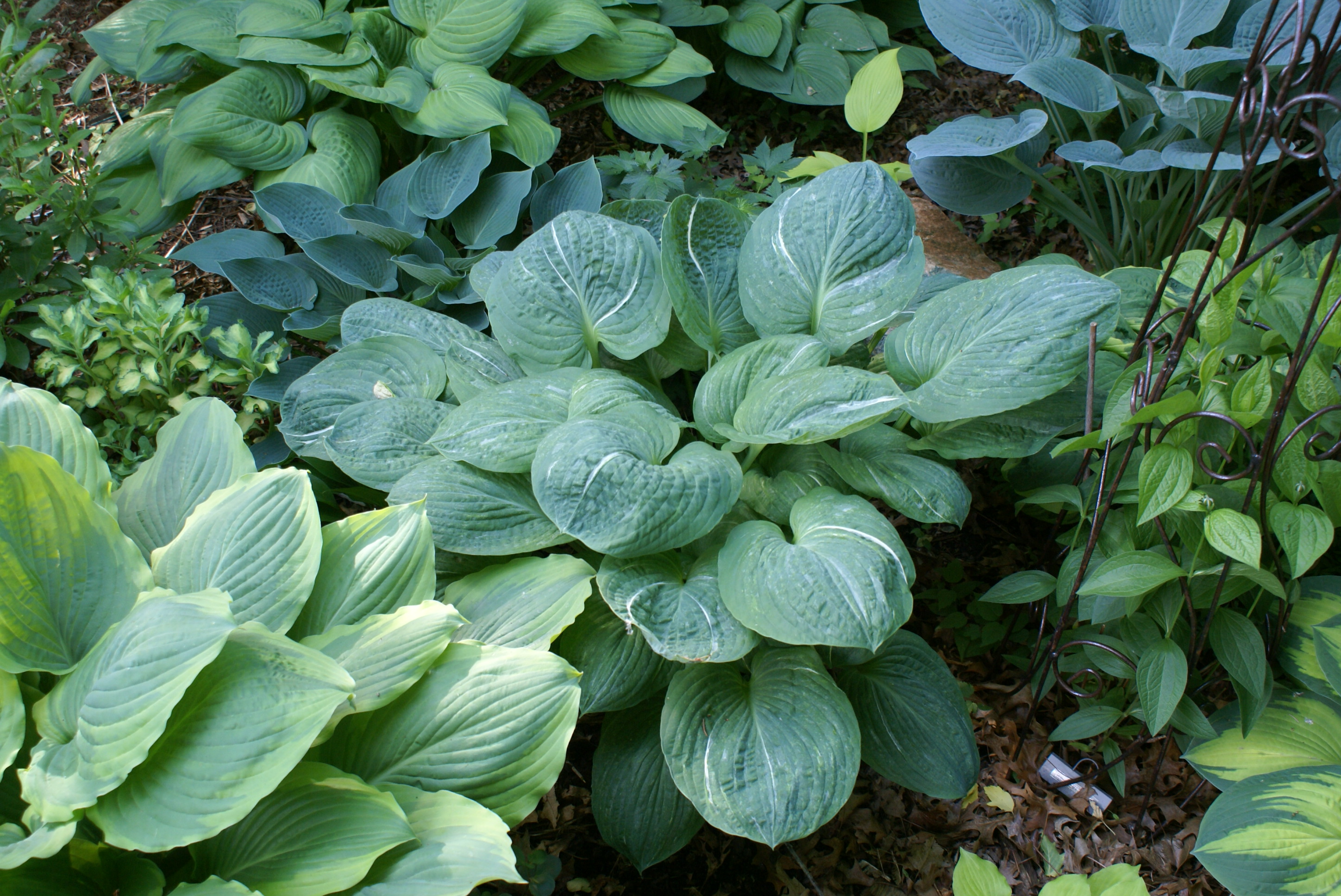 Hosta 'Spilt Milk' (09)-001