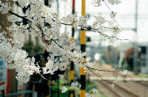 桜(踏切と)