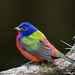 Male Painted Bunting, Fernandina Beach, Florida by DawnaMoorePhotography