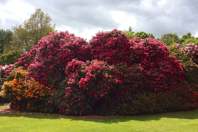Kenwood House rhododendrons