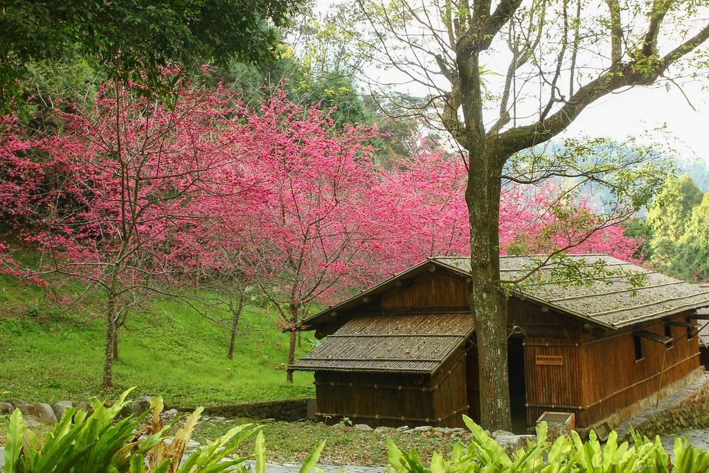 九族櫻花祭 (37)
