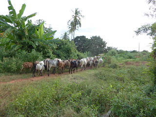 A herd of cattle in Handeni, Tanzania. photo: by CLEANED VC