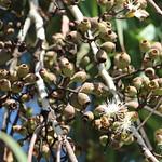 Corymbia citriodora capsules and flowers
