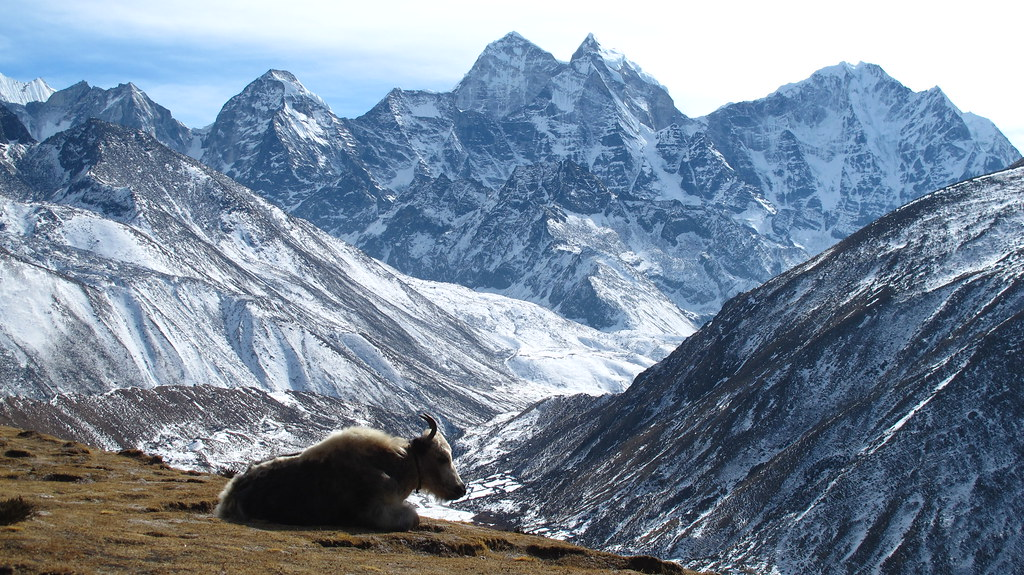 Yaks Dingboche - Lobuche Nepal january 2015