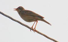 branch(0.0), house finch(0.0), emberizidae(0.0), wren(1.0), nightingale(1.0), animal(1.0), wing(1.0), fauna(1.0), finch(1.0), close-up(1.0), beak(1.0), bird(1.0),
