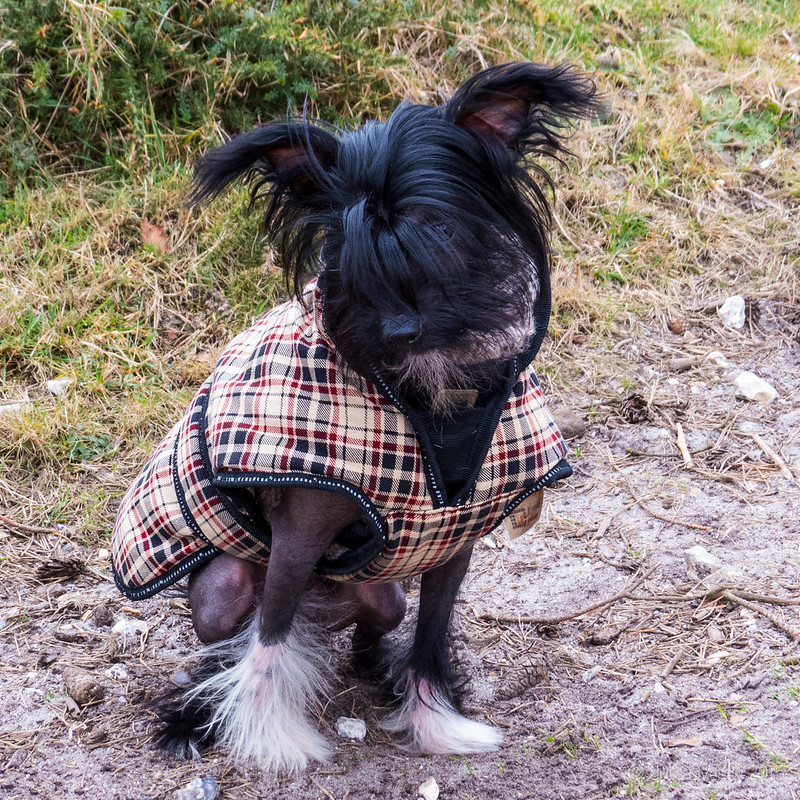 8 month old Chinese Crested
