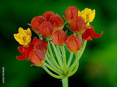 Quinta-flower2