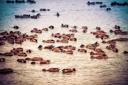 bird water swimming austin duck texas unitedstates eating flock nik groupofanimals