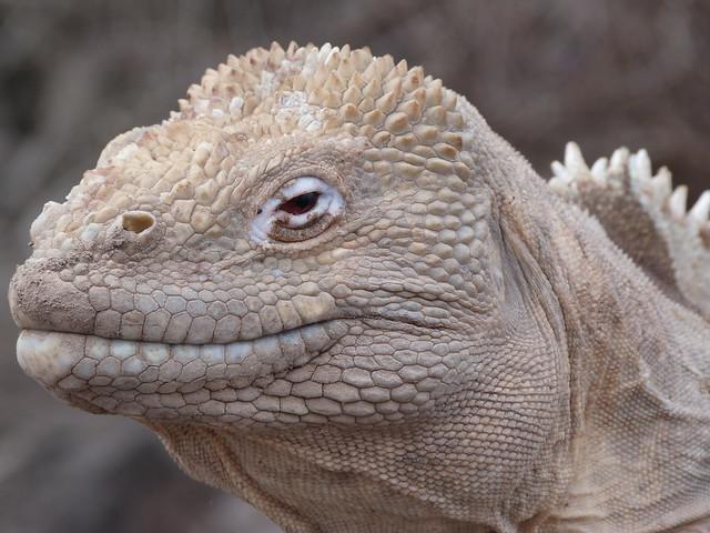 Iguana de Santa Fe (Galápagos)
