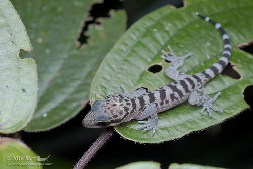 Cyrtodactylus baluensis_MG_0034 copy
