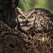 Great Horned Owl by Dara Lork