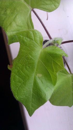 Yellow Leaf Asagao by Gerris2