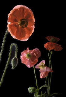 VAR184_Four poppies on black