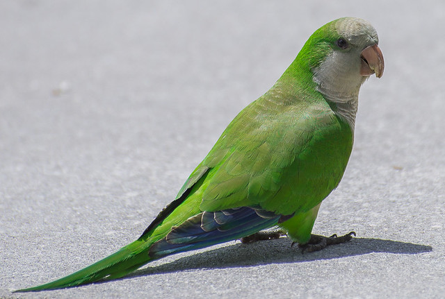 Quaker Parrot stopped on the sidewalk