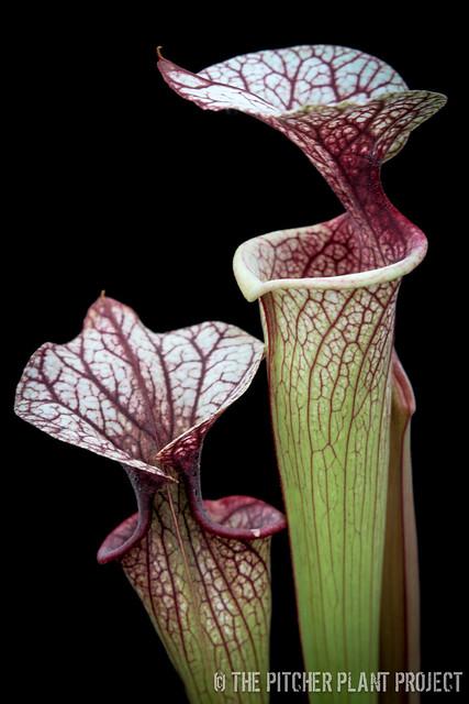 Sarracenia [(rubra x oreophila) x flava var. rugelii] x 'Adrian Slack'