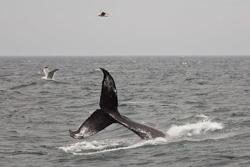 Rapier's 09 calf - tail breach