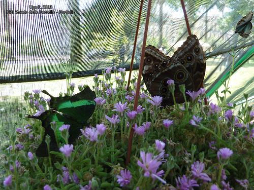 Nel Mondo delle Farfalle - Farfalle