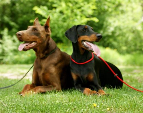 Tremor de cabeça idiopático em cães - Petlove - O Maior Petshop Online do Brasil