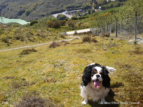 Lily, above Wheal Martyn by Stocker Images