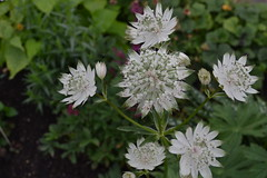 ASTRANTIA major ssp. involucrata 'Orlando'