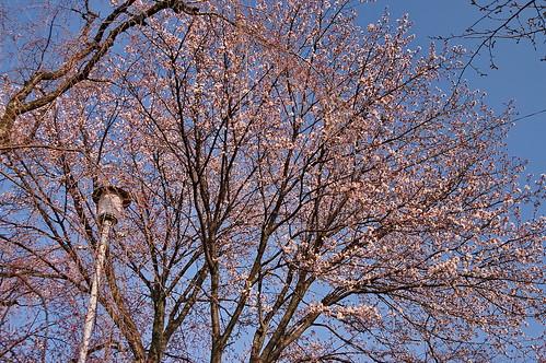 【写真】2013 桜 : 平野神社/2021-01-09/IMGP8716