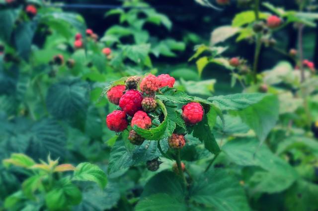 Raspberries, yay!