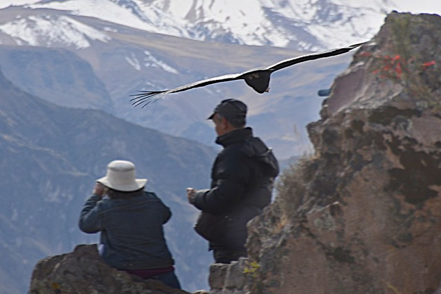 Largest flying bird in the world andean condor - photo#25