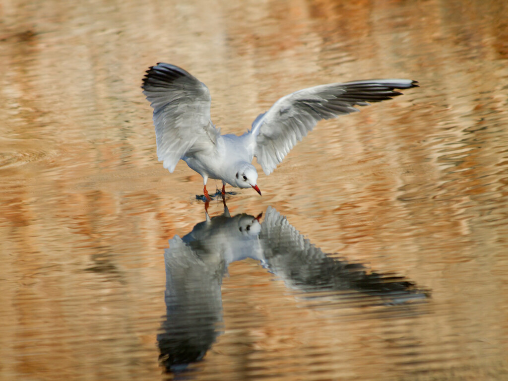 Black-headed Gull, winter plumage