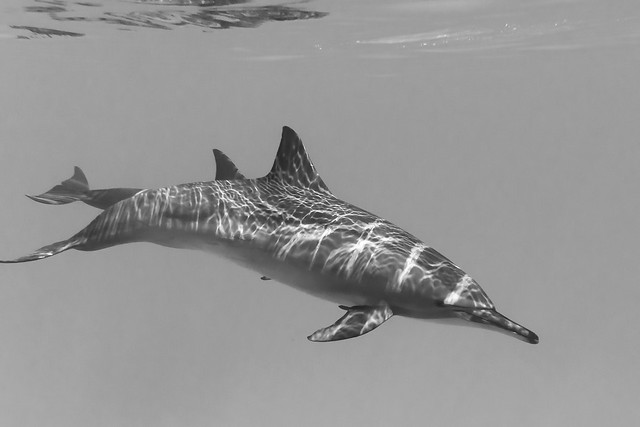 Dolphin Red Sea Black and white | Flickr - Photo Sharing!
