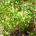 Small photo of Albahaca
