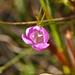 Small photo of Small-Flowered False Foxglove (Agalinis paupercula)