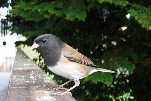 Dark-eyed Junco profile | by quinet