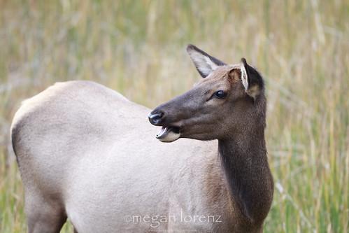 Cow Elk by Megan Lorenz