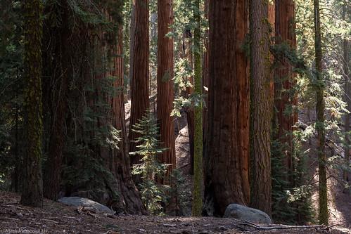 Sequoias, Sequoia National Park, California, 2013