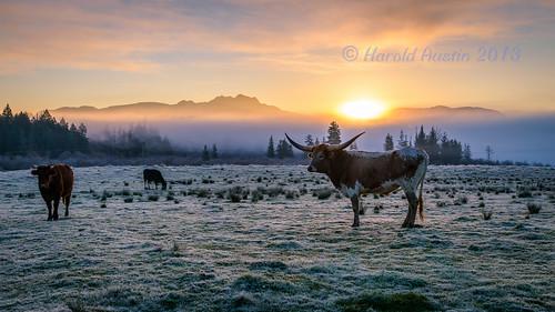 canada sunrise landscape october mt cattle britishcolumbia frosty longhorn portalberni arrowsmith d800 2013 farmerbills tamronsp2470mmf28divcusd