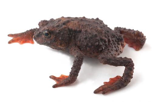 <i>Osornophryne simpsoni</i> Osornosapo de Simpson ♀