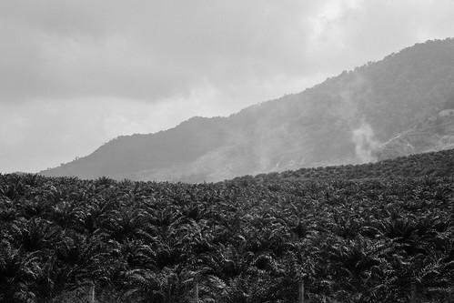 forest hills palmtree malaysia plantation malacca malaka plantations nilai palmoil negerisembilan