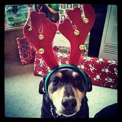 Tut waiting for his Christmas morning treat #dogstagram #coonhoundmix #adoptdontshop #Rescued