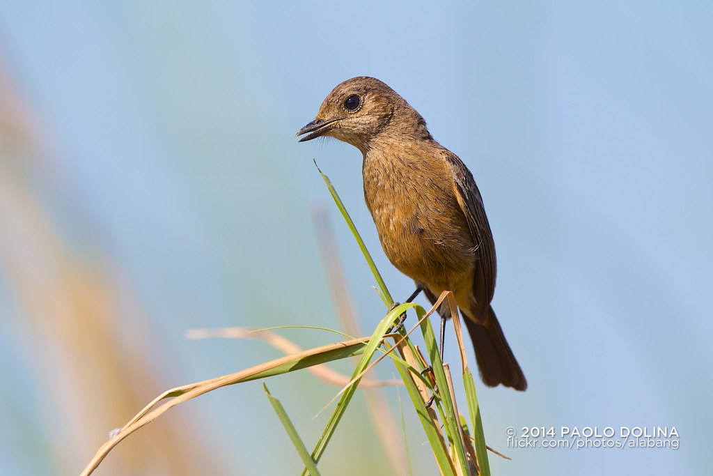 bush chat Pied bush chat kc lee yesterday at 10:17am just a wild plant serendip bill added 4 photos to the album: brown-cheeked rail / eastern water rail ((東方普通.