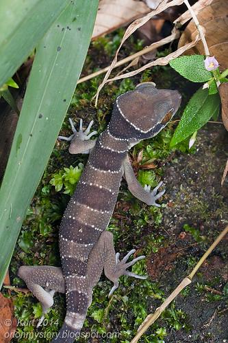 Cyrtodactylus bintangtinggi IMG_5034 copy