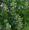 Calamintha grandiflora (syn. Satureja grandiflora (L.) Scheele), Showy Calamint, Mint Savory
