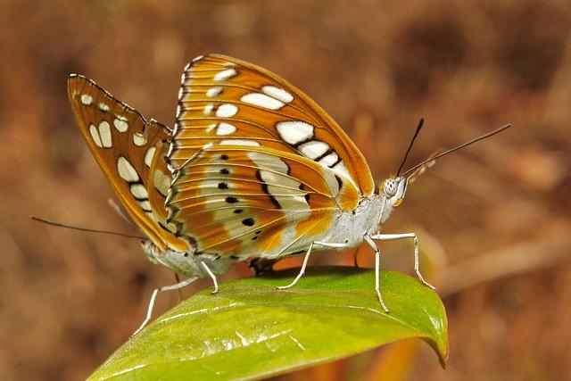 Common Sergeant Pair (Athyma perius, Nymphalidae)